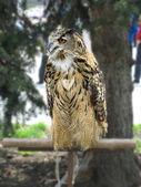 Eagle owl with red eyes — Stock Photo