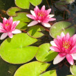 Beautiful blooming red water lily lotus — Stock Photo