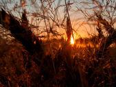 Corn and sundown conceptual image. — Stock Photo