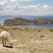Sheep on Isla del Sol - Titicaca — Stock Photo