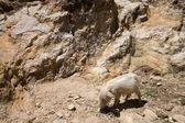 Piglet on Isla del Sol - Titicaca — Stock Photo