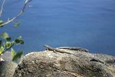 Mabuia Lizard — Stock Photo