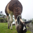 Machu Picchu Llamas - Stock Photo