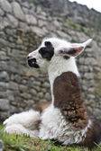 Machu Picchu Llamas — Stock Photo