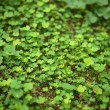 4 Leaf-Clover Forest - Stock Photo