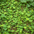 4 Leaf-Clover Forest — Stock Photo