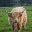 Highland Cattle — Stock Photo #2312609