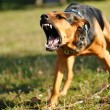 Stock Photo: Angry dog with bared teeth
