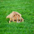 Puppy pit bull terrier hiding in gra — Stock Photo #2058063