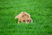 Puppy pit bull terrier hiding in the gra — Stock Photo