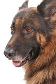 Portrait Of The Dog Isolated On White — Stock Photo