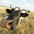 Cow on meadow with grass - Stock Photo