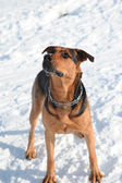 Retrato del perro — Foto de Stock