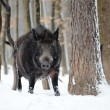 Stock Photo: Wild boar