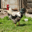 Rooster — Stock Photo #2359717
