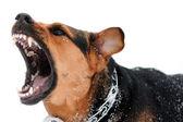 Perro enojado con los dientes sin aislación — Foto de Stock