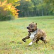 Running pitbull terrier dog — Stock Photo #2406978