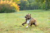 Running pitbull terrier dog — Stock Photo