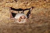 Murciélago sosteniendo en una pared — Foto de Stock
