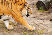 Running tiger — Stock Photo