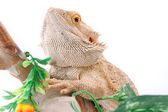 Australian dragon lizard — Stock Photo