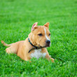 Pit bull terrier puppy — Stock Photo