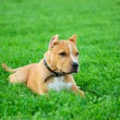 Pit bull terrier puppy - Stock Photo