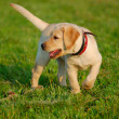 Puppy Labrador on the green grass — Stock Photo