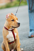 Young pitbull Staffordshire terrier — Stock Photo