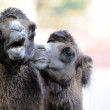 Camels — Stock Photo #2573240