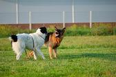 Angry dog with bared teeth — Stock Photo