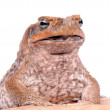 Cane Toad frog on white background — Stock Photo