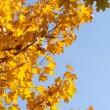 Yellow leaves on the blue sky — Stock Photo