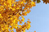 Gele bladeren op de blauwe hemel — Stockfoto