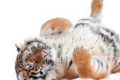 Playing tiger laying on the white — Stock Photo