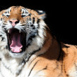 Tiger with bared fangs on black — Stock Photo #2692628