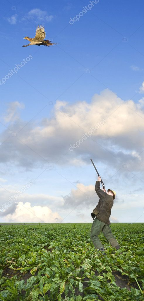 A hunter, aiming above his head at a pheasant hen, flying away in a sugar beet field  Stock Photo #2091273
