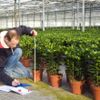 Foto Stock: Measuring height of plants