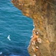 Seabirds and cliff — Stock Photo #2276130