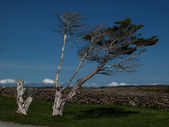 Kuzey çam — Stok fotoğraf