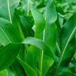 Young green corn leaves - 图库照片