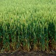 Field of young green wheat - Stock Photo