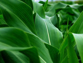 Young green corn leaves — Stock Photo