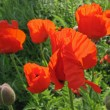 Oriental poppy (Papaver orientale) — Stock Photo