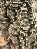 The bark of Amur cork tree — Stock Photo