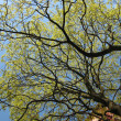 Maple branches against the blue sky — Stock Photo #2120273