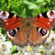 The butterfly peacock (Inachis io) - Stock Photo