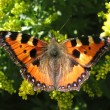 Daily Admiral butterfly,Vanessa atalantа - Stock Photo