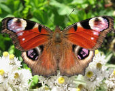 The butterfly peacock (Inachis io) — Stock Photo