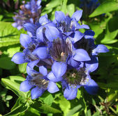 Blooming gentian (Gentiana), family Gent — Stock Photo